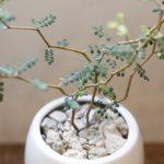 ヒョロヒョロの鉢植え植物の仕立て直しの方法!土のカビにも要注意!