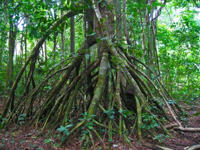 観葉植物,茎,根が生える,支柱根